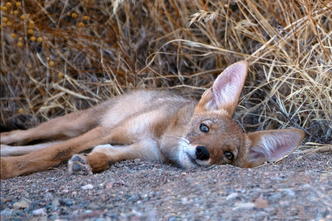 Barry Hart - Arizona Coyote Pup