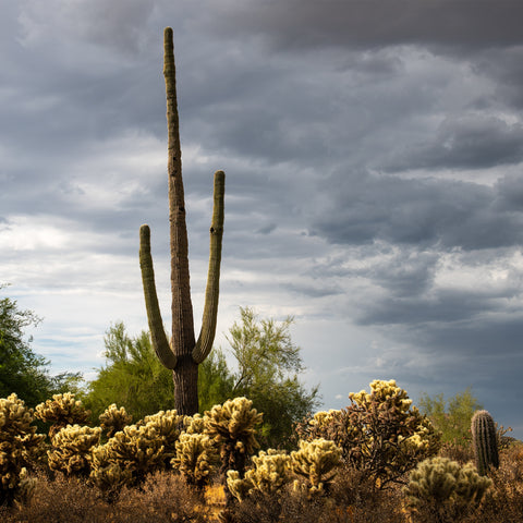 Saguaro Centurion (color) -  Barry Hart - McGaw Graphics