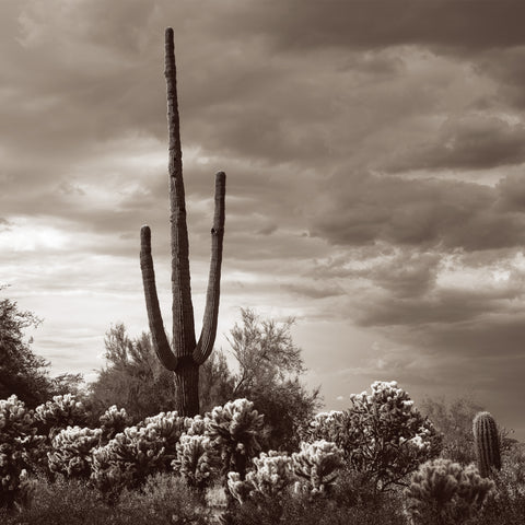 Saguaro Centurion -  Barry Hart - McGaw Graphics