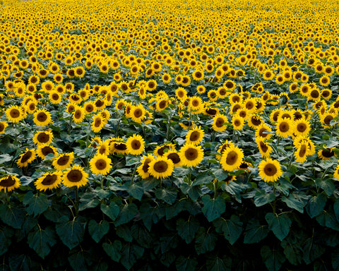 Sunflowers in a Wisconsin Field - McGaw Graphics
