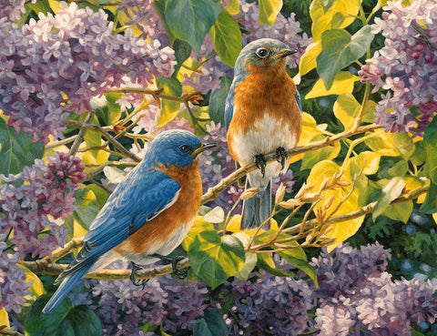 Spring Interlude - Eastern Bluebirds - McGaw Graphics