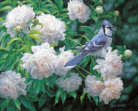 Summer Solstice - Blue Jay in Peonies - McGaw Graphics