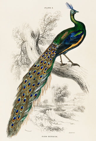A Majestic Male Peafowl Portrait -  Sir William Jardine - McGaw Graphics