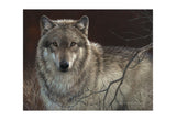 Uninterrupted Stare - Gray Wolf -  Joni Johnson-Godsy - McGaw Graphics