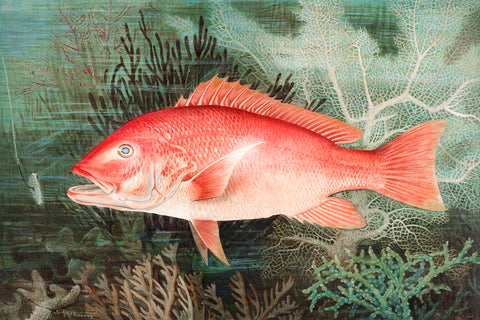 Northern Red Snapper - McGaw Graphics