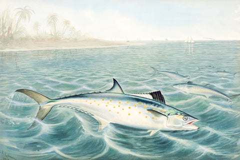 Red Drum, 1878 - McGaw Graphics