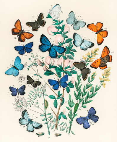 Butterflies and Moths I, 1882 - McGaw Graphics