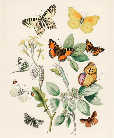 Butterflies and Moths II, 1882 - McGaw Graphics