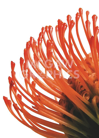 Orange Protea 4 -  Jenny Kraft - McGaw Graphics