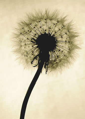 Backlit Dandelion -  Jenny Kraft - McGaw Graphics