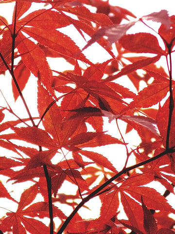 Sunlit Maple 1 -  Jenny Kraft - McGaw Graphics