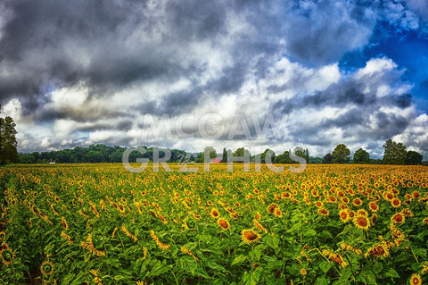 Sunflower Field -  Robert Lott - McGaw Graphics