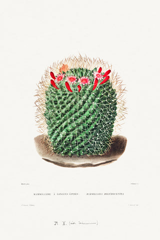 Pincushion Cactus - McGaw Graphics