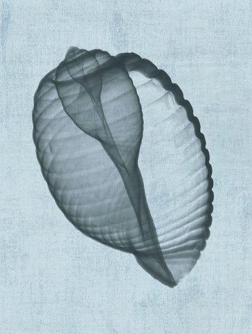 Bert Myers - Banded Tun Shell (light blue)
