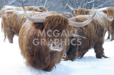 Scottish Highlanders -  Orah Moore - McGaw Graphics