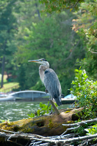 Heron on Lake George -  Orah Moore - McGaw Graphics