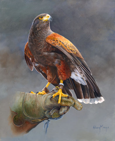 Harris Hawk -  Hilary Mayes - McGaw Graphics