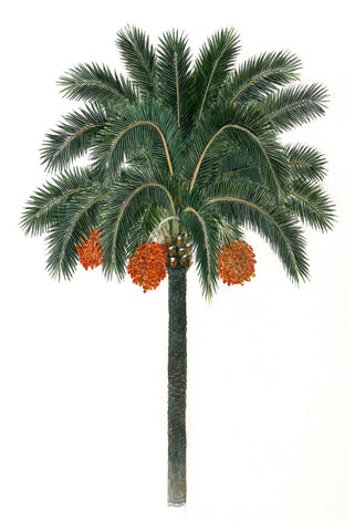 Date Palm - McGaw Graphics
