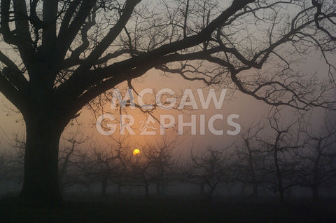 Foggy Oak -  Erik Richards - McGaw Graphics