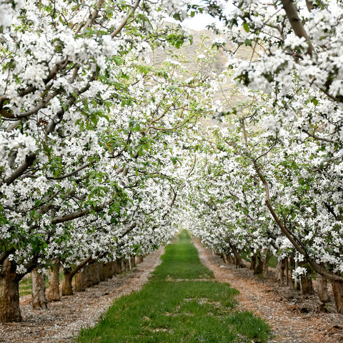 R Delean Designs - Orchard in Bloom