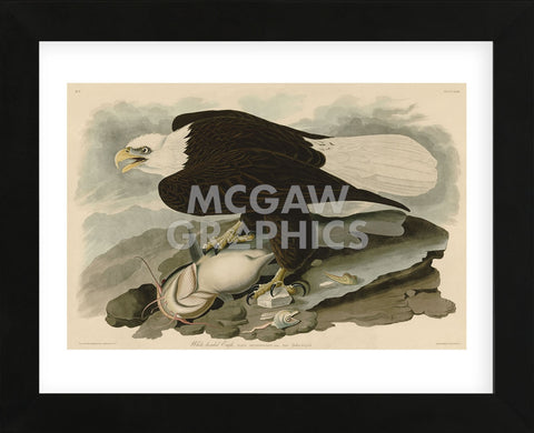 White-Headed Eagle (Framed) -  John James Audubon - McGaw Graphics