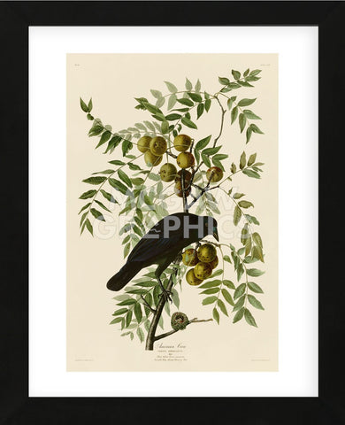 American Crow (Framed) -  John James Audubon - McGaw Graphics
