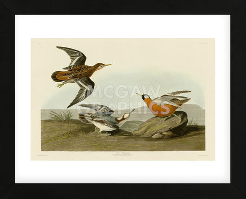Red Phalarope (Framed) -  John James Audubon - McGaw Graphics
