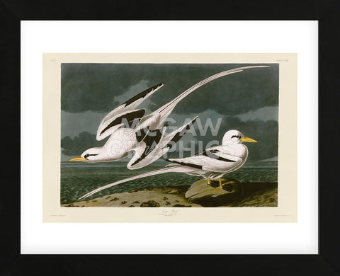 Tropic Bird (Framed) -  John James Audubon - McGaw Graphics