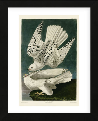 Iceland or Jer Falcon (Framed) -  John James Audubon - McGaw Graphics