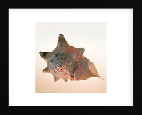 Conch  (Framed) -  Tom Artin - McGaw Graphics