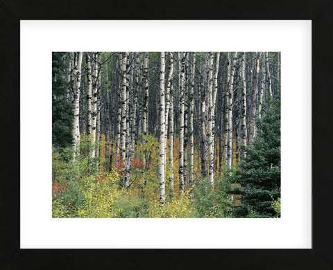 Autumn Birch (Framed) -  Derek Jecxz - McGaw Graphics