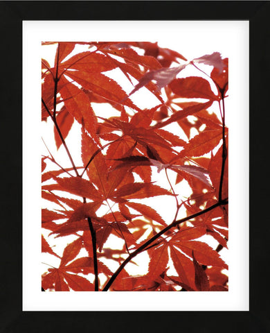 Sunlit Maple 1  (Framed) -  Jenny Kraft - McGaw Graphics