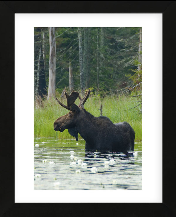 ELK WILDLIFE ART PRINT Call of Autumn by Daniel Smith Hunting Poster 13x19