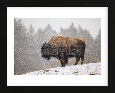 Bison in Snow (Framed) -  Jason Savage - McGaw Graphics