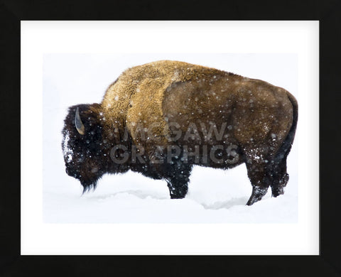 Winter Bison (Framed) -  Jason Savage - McGaw Graphics