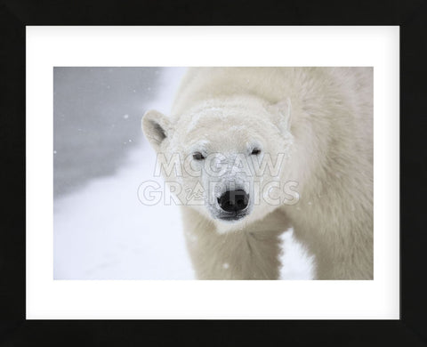 Polar Bear (Framed) -  Jason Savage - McGaw Graphics