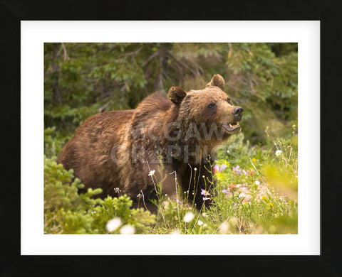 Grizzly Bear (Framed) -  Jason Savage - McGaw Graphics