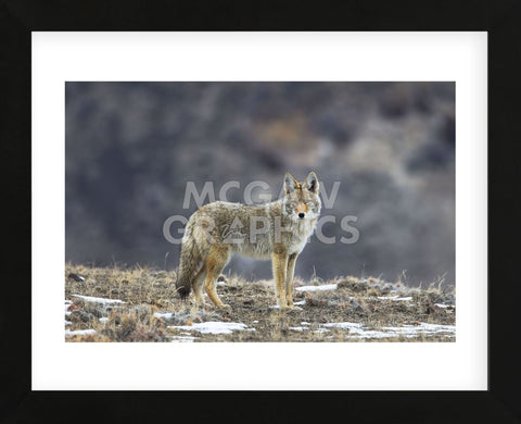 Yellowstone Coyote (Framed) -  Jason Savage - McGaw Graphics