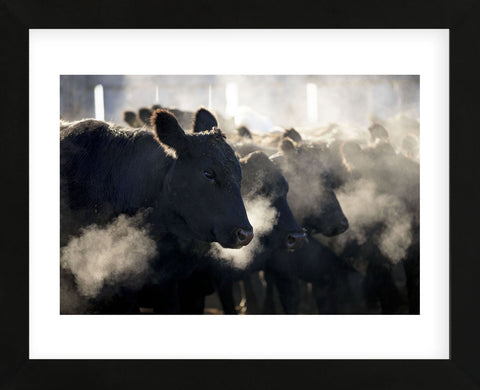 Montana Cattle (Framed) -  Jason Savage - McGaw Graphics