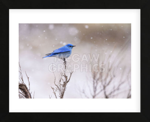 Yellowstone Bluebird (Framed) -  Jason Savage - McGaw Graphics