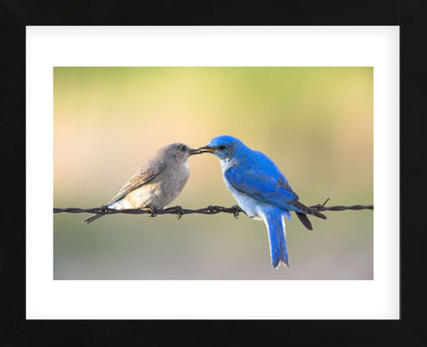 Bluebird Pair (Framed) -  Jason Savage - McGaw Graphics