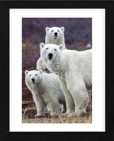 Art Wolfe - Churchill Polar Bears