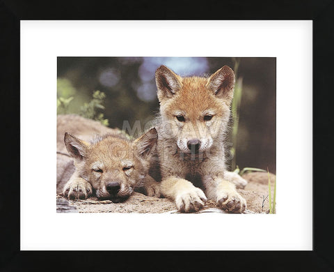Spring Wolf Pups  (Framed) -  Art Wolfe - McGaw Graphics