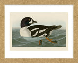 Golden-eye Duck (Framed) -  John James Audubon - McGaw Graphics