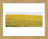 Sunflower Panorama (Framed) -  Stephen Gassman - McGaw Graphics
