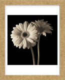 Gerber Daisies 1 (Framed) -  Michael Harrison - McGaw Graphics