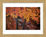 Suspended Maple Leaves (Framed) -  Michael Hudson - McGaw Graphics