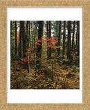 Maple in the Pine  (Framed) -  Phillip Mueller - McGaw Graphics