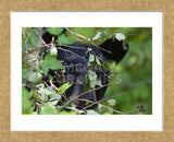 Glacier National Park Black Bear (Framed)