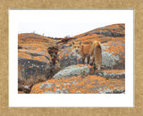Churchill Red Fox (Framed) -  Jason Savage - McGaw Graphics